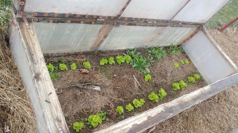 Our winter  lettice  1-12-20