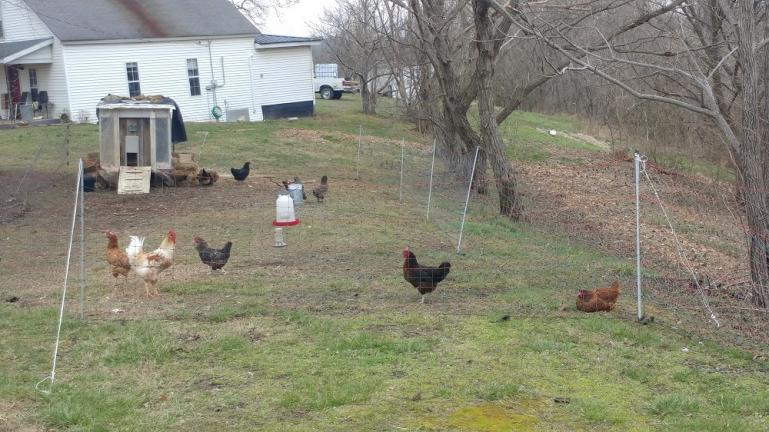 New Chicks on the block L-to-R:  Henny Penny, Honey Boy, Jackson, Dick and Lucile Bawl