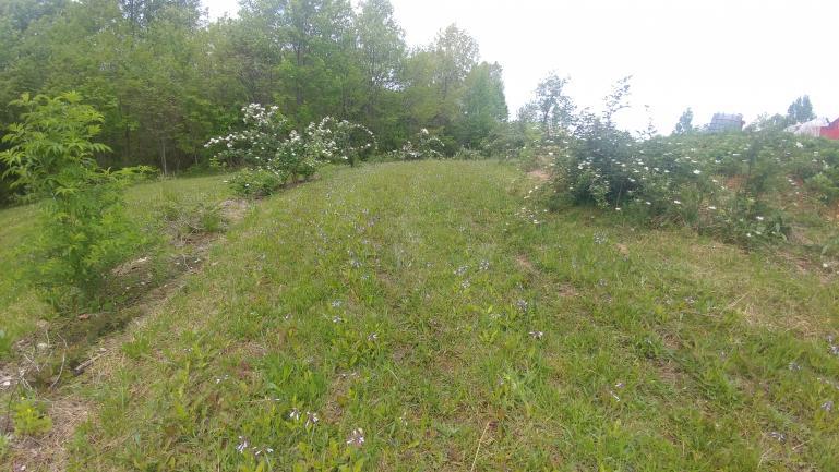 Thornless blackberry flowers   5-2-21