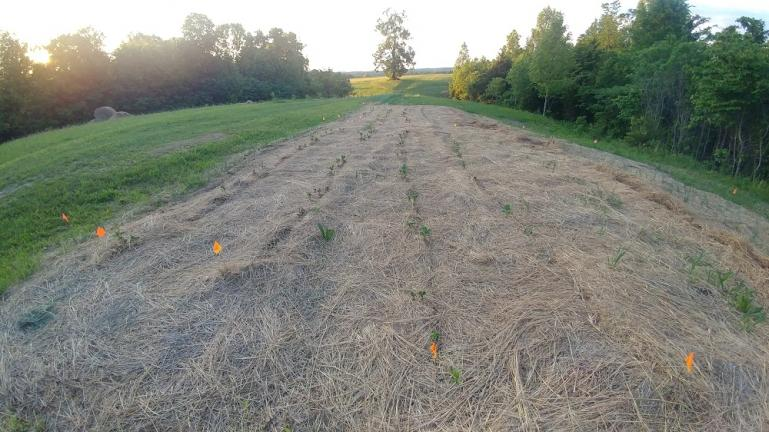 Some Potato Rows in the Hay 5-14-19