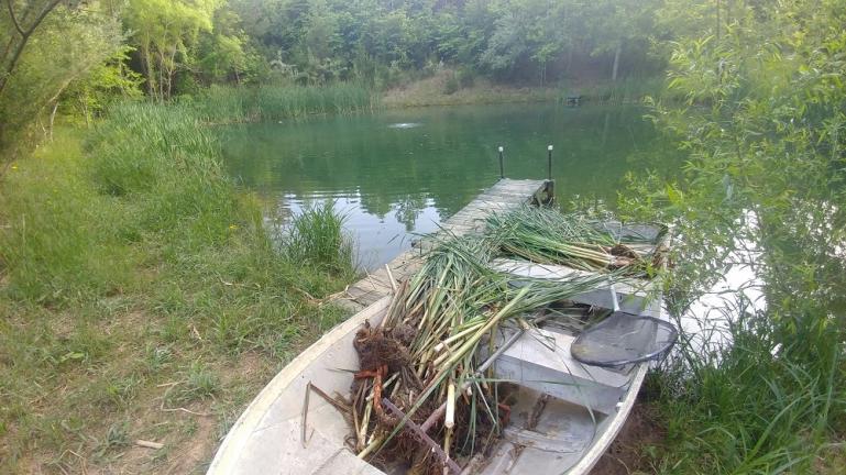 CatTail Harvest 5-16-19