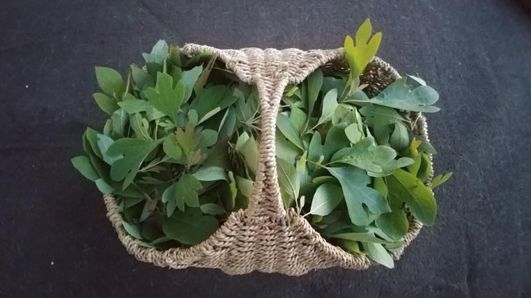 Fresh harvested young Sassafras Leaves for making Gumbo Filé 5-20-19