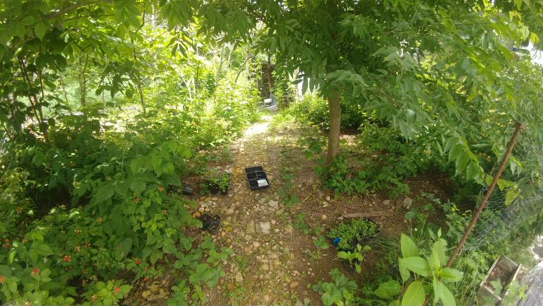 Greenhouse to tool shed path  Sassafras, Black Raspberry and Strawberry  6-7-21