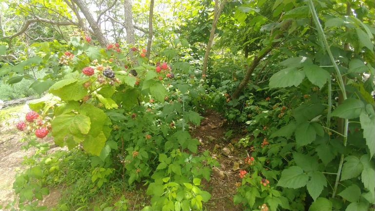 black raspberry and sassafras