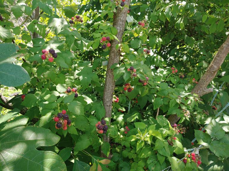Black Raspberry !  6-13-21