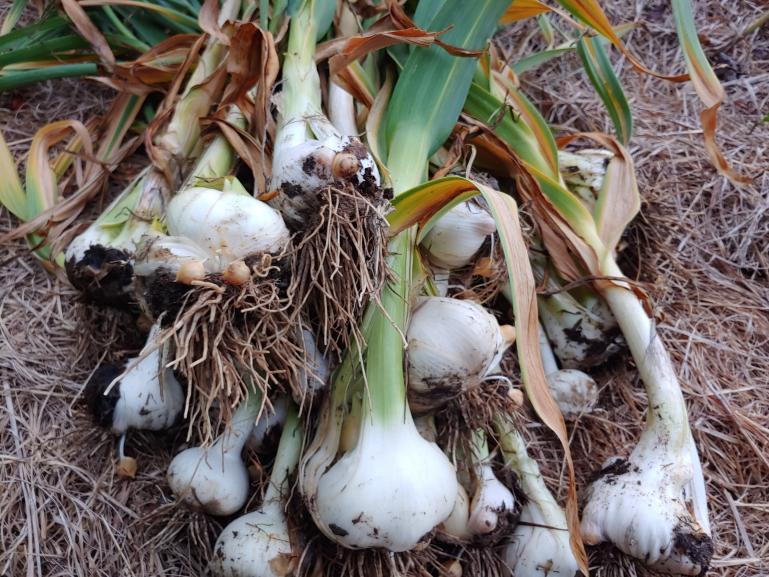 Elephant Garlic Harvest  6-17-21