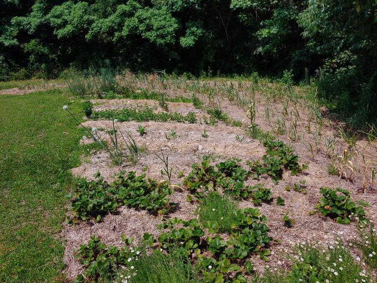 The Corner Pocket - Strawberry, Chamomile, Garlic, Bunching Onion, Hyssop, Mitsuba, Perennial Kale, Egyptian Walking Onion, Perennial  Fennel, Garlic Chives, Arnica & Echinacea