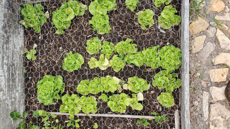 Tom Thumb Lettuce