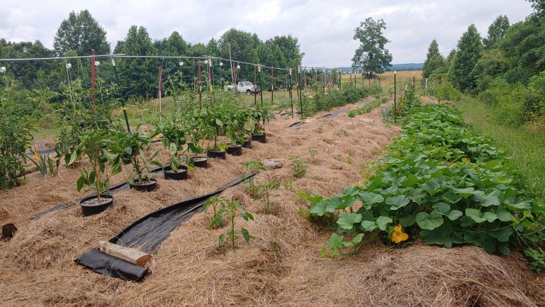 Butternut, Jimmy Nardello, Green Pepper, Hillbilly Tomato  7-1-21