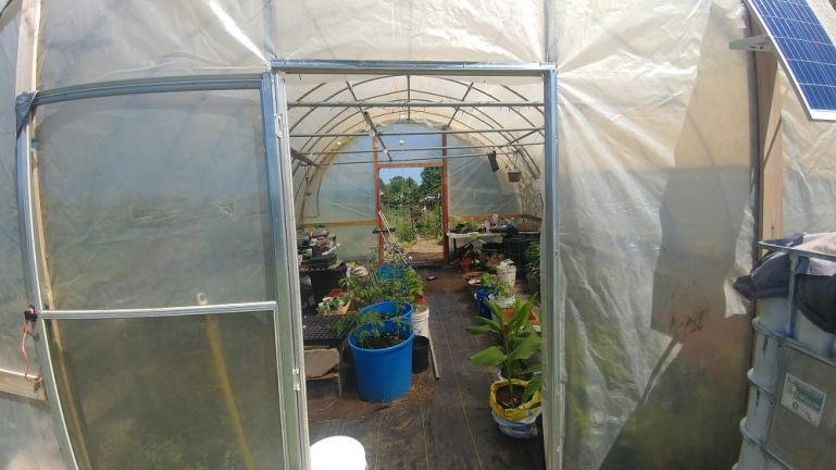 Indeterminate tomatoes and hot peppers in the greenhouse 8-8-20