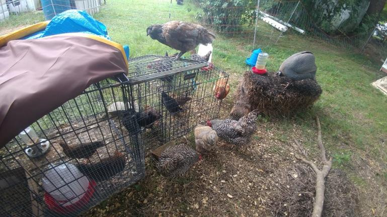 7 new chicks 4 Welsumers and 3 Badasses