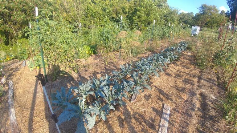Tuscan Kale, tomatoes and hardly any weeds   --- 8-15-19