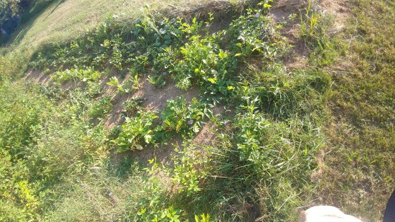 A strawberry patch with Diakon radish and volunteer melons and butternuts   --- 8-15-19