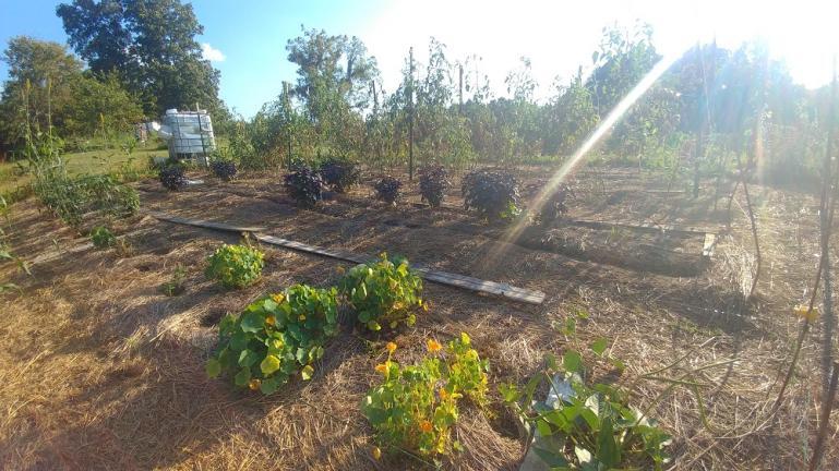 Nasturtium, purple basil, tomatoes.....