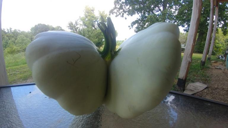 Siamese Patty Pan Butterfly Squash