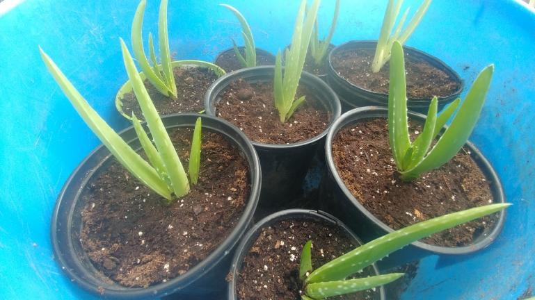 Baby Aloe Vera Plants 8-30-20