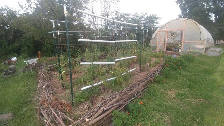 Mortgage Lifter and BeefSteak Tomatoes hybrid project