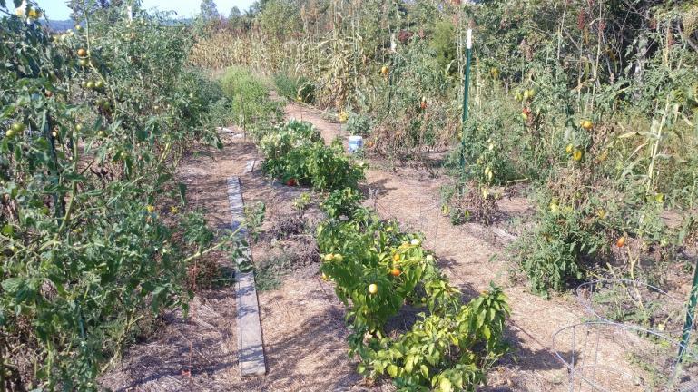 Striped Romans, Paprika & Purple Bumble Bee's