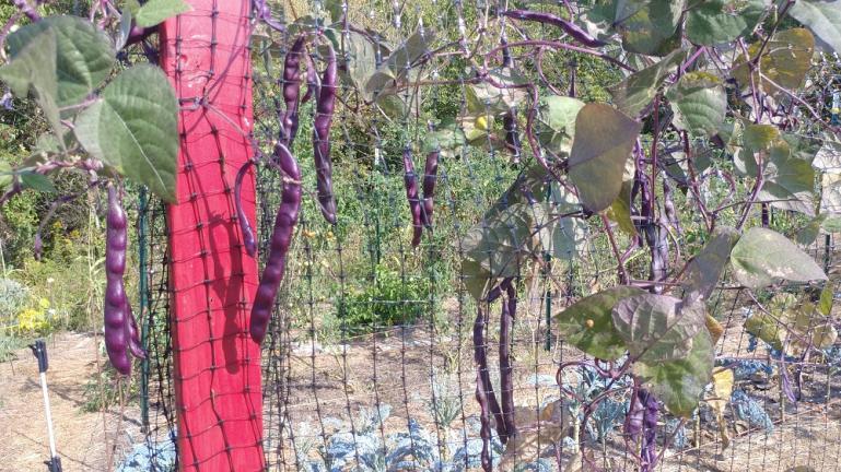 Purple Beans on the the cucumber trellis