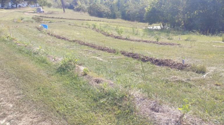 Pulled weeds added green manure and buried Diakon seeds while mulching Blueberry and Elderberry rows 9-20-19
