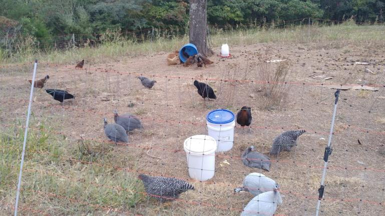 Chickens in the Garden of the Sun