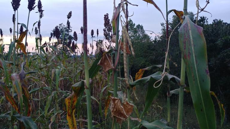 Sorghum and beans ready to harvest,  we will be cooking molasses next week at the Barn at Node