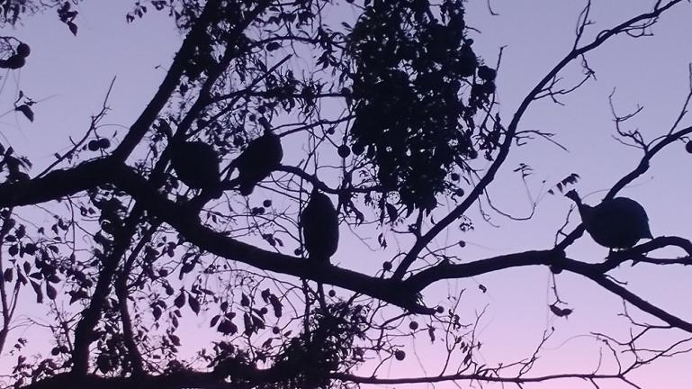 4 out 5 Guinea's prefer to roost in the tree 10-2-19