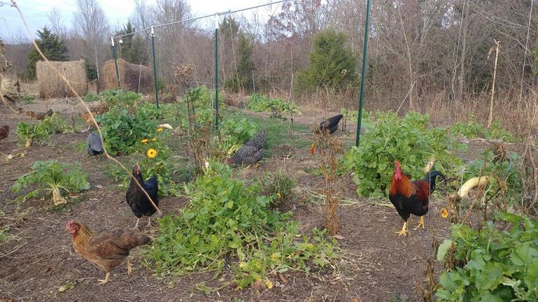 Chickens fertilizing and cultivating the garden for the winter   11-21-20
