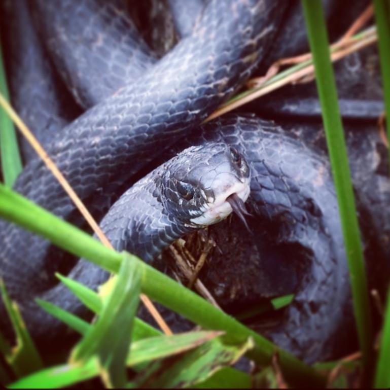 rescued black snake