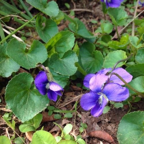 sweet violet in situ