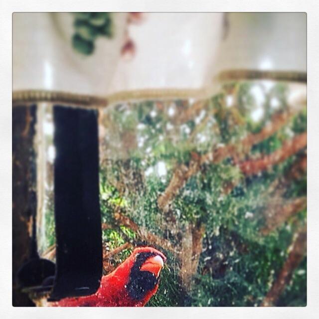 cardinal taking a peek inside
