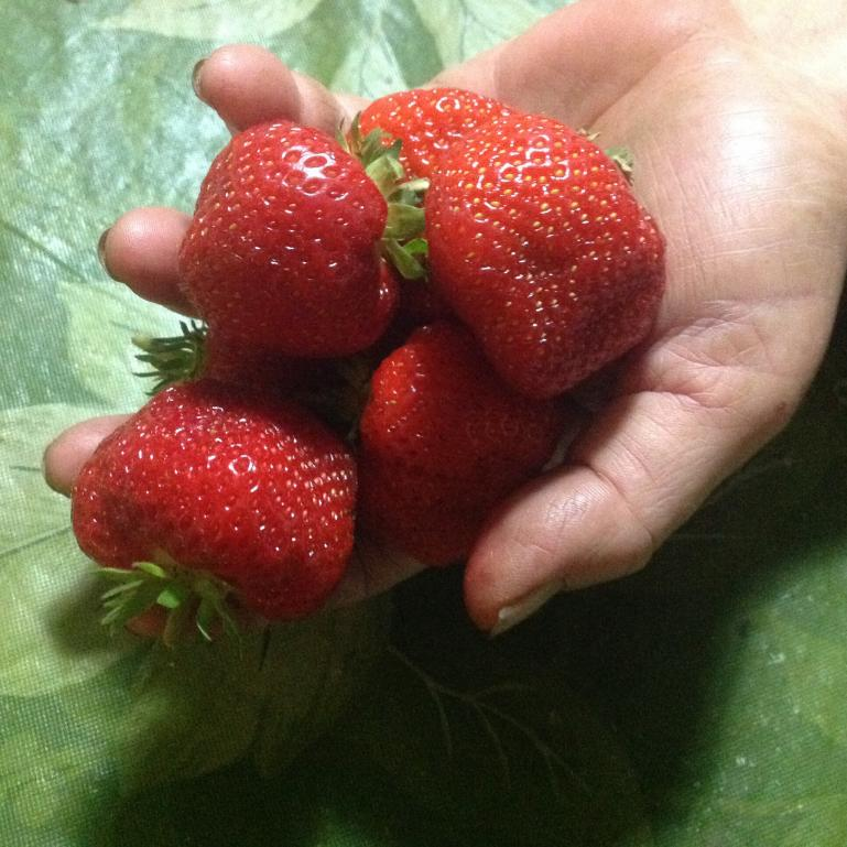 luscious strawberries harvested in june