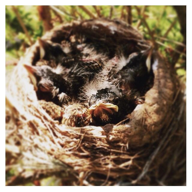 the clutch of robin fledglings in the forsythia bush