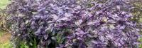 Purple Genovese Basil
