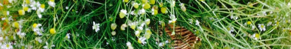 chamomille haul