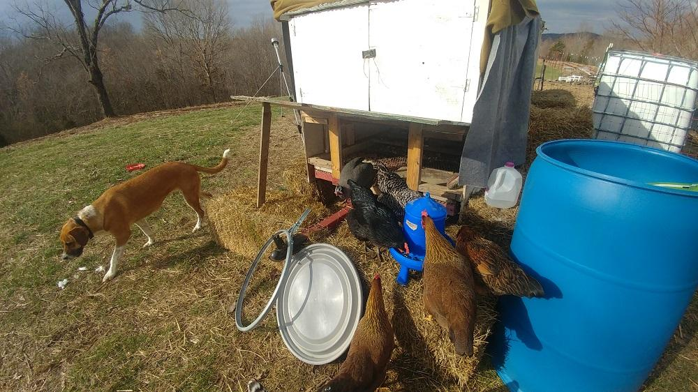 Zynga Guards the Chicks from Hawks an Coon an Possum an Cats