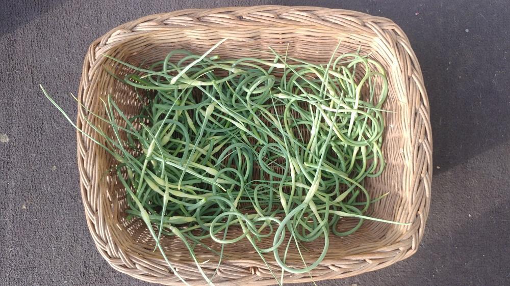 Garlic Scape Harvest  5-29-19