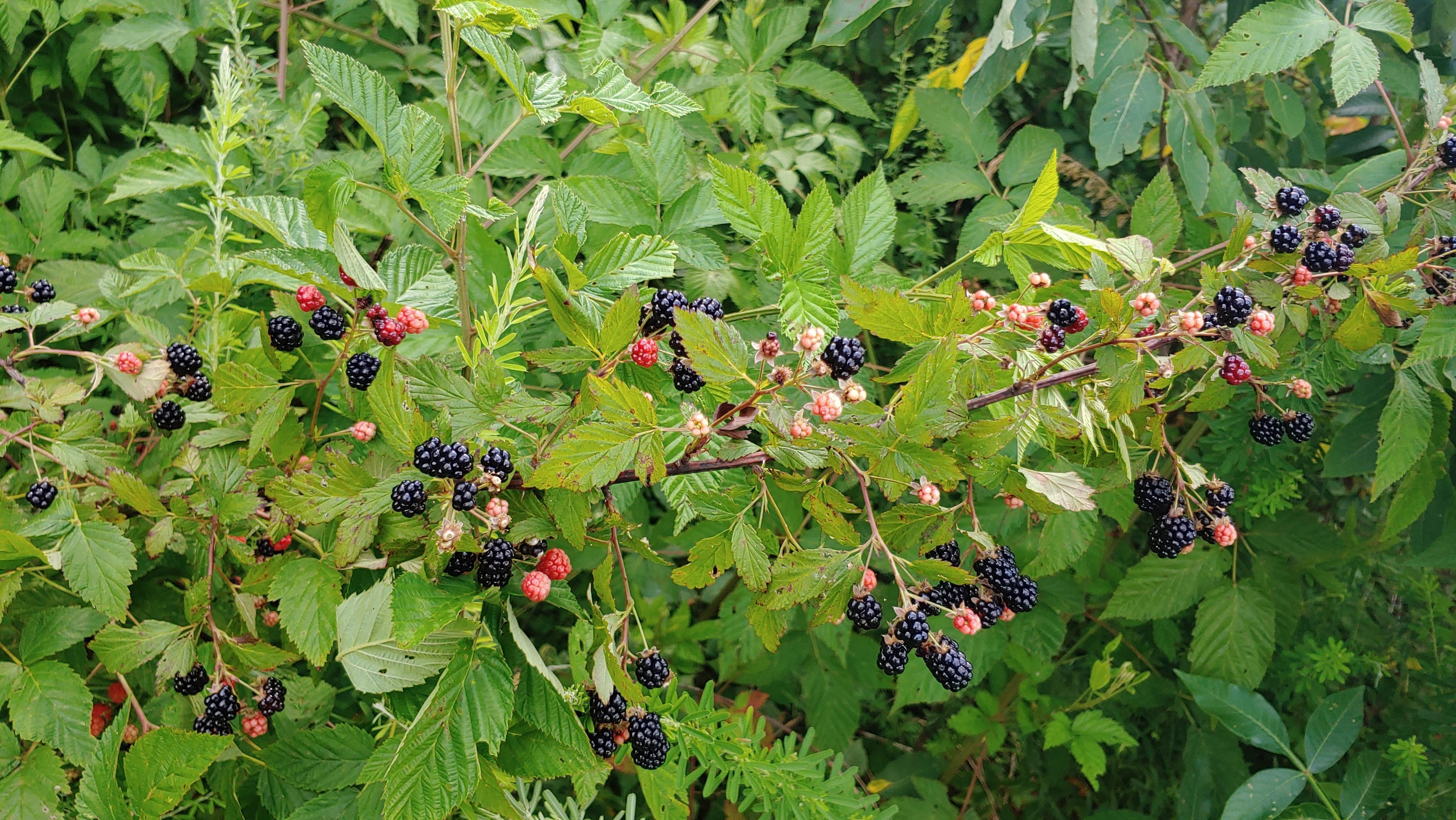 Wild Thorny Blackberries