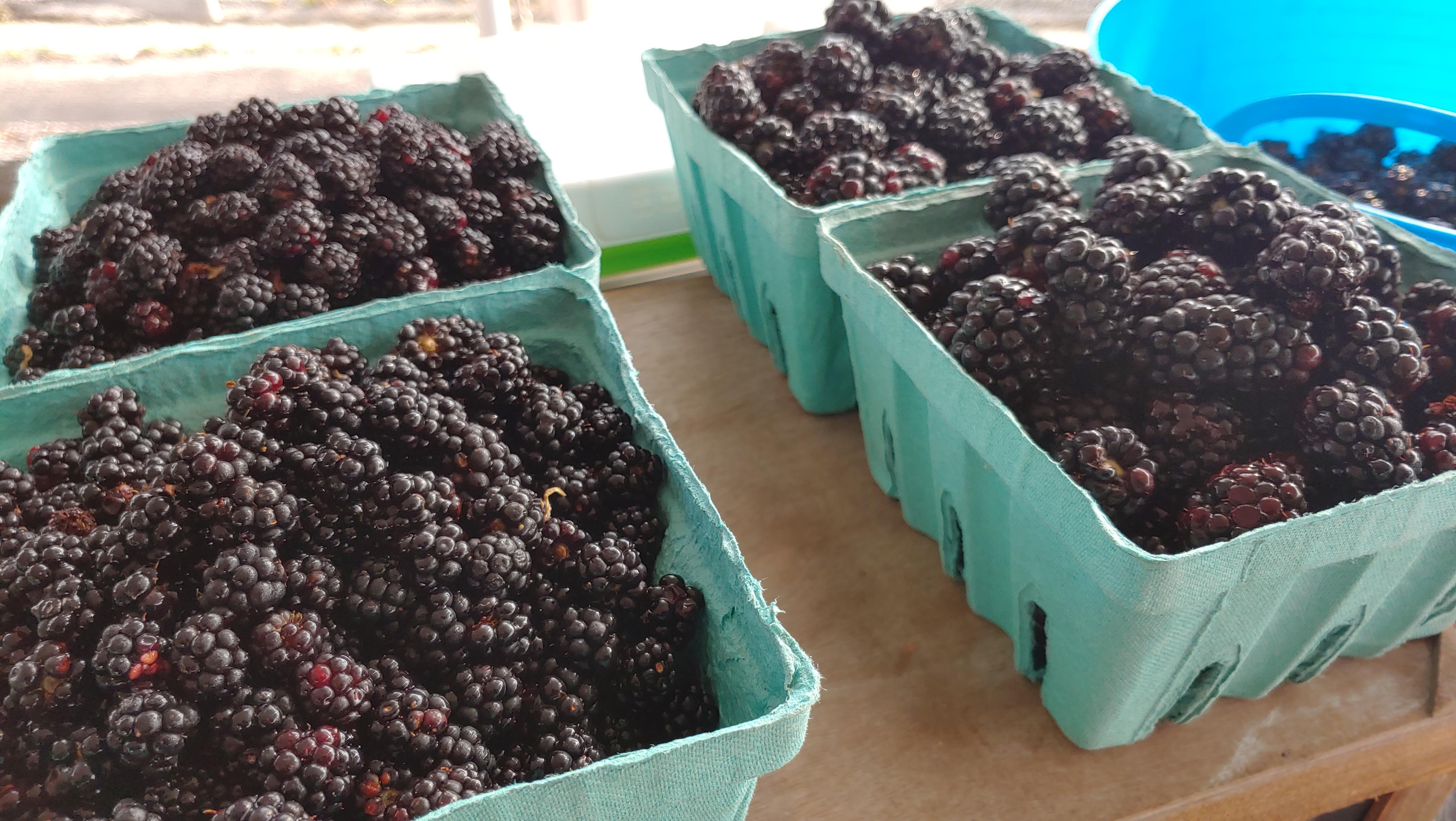Wild Blackberry on the left - Thornless Blackberry on the right