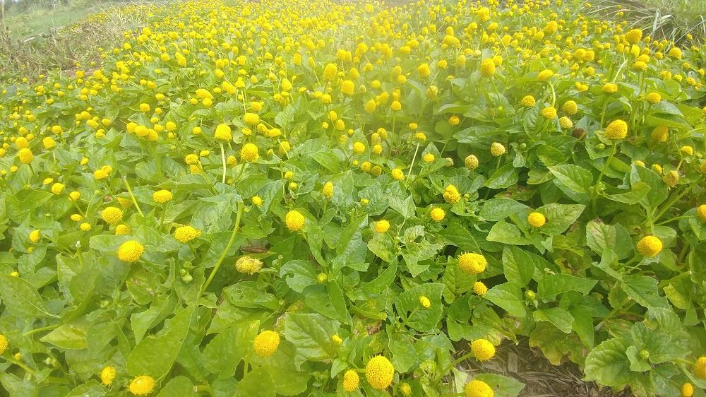 our field of Spilanthes 2020 crop