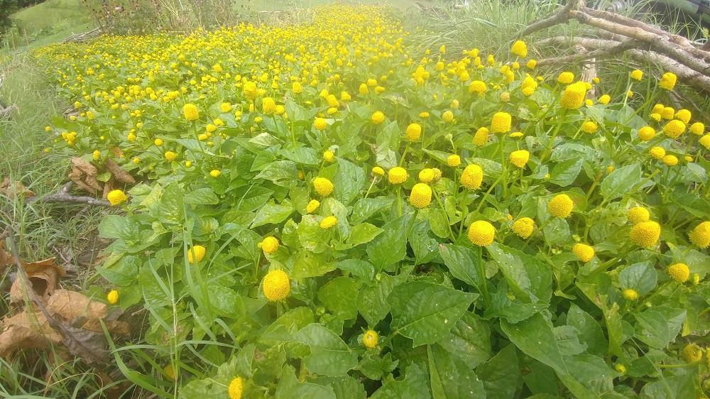 Our Field of Spilanthes 8-30-20