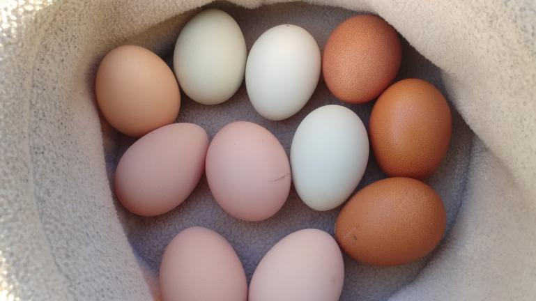 8-12 eggs a day