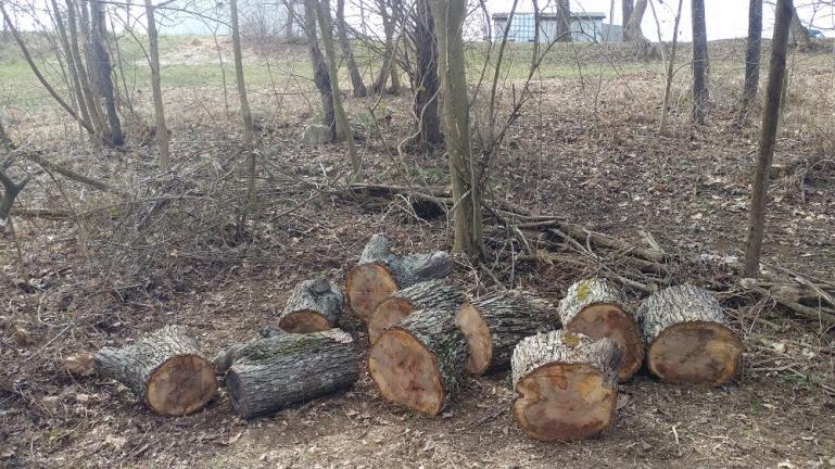 Oak Logs for Shitake Mushroom Totem Poles 2-26-19