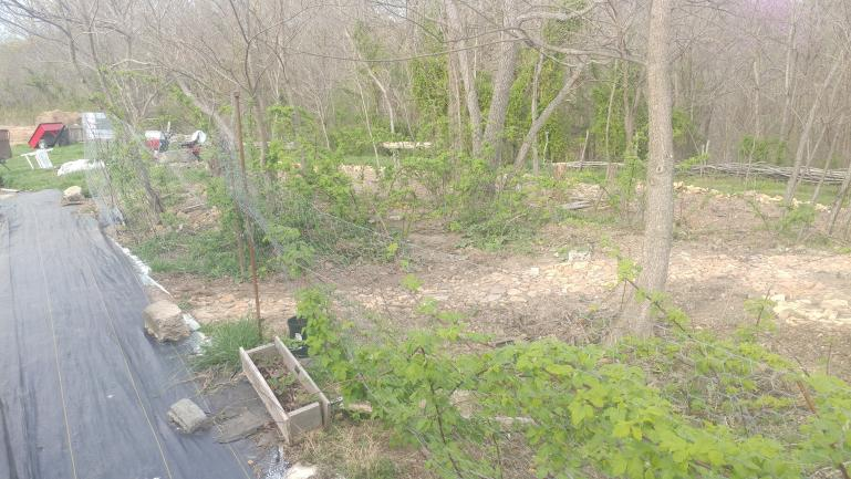 Rock path through the sassafras and black raspberries.  new chicken wire trellis keeps the raspberries out of our walk way by the greenhouse
