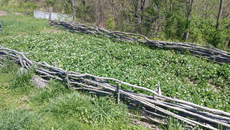 We added a mock waddle fence around several of our random planting areas - Strawberries 4-12-21