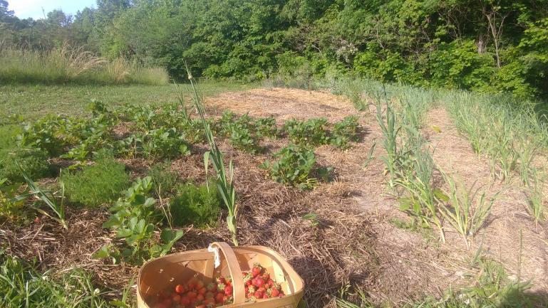 Strawberries, Garlic, Chamomile in The Corner Pocket   5-21-21