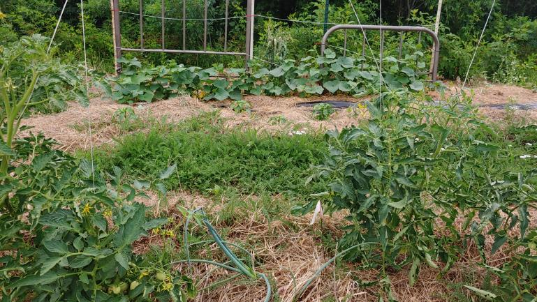 Tomato, Onion, Yarow in the path, Cayanne, Pickling Cucumbers