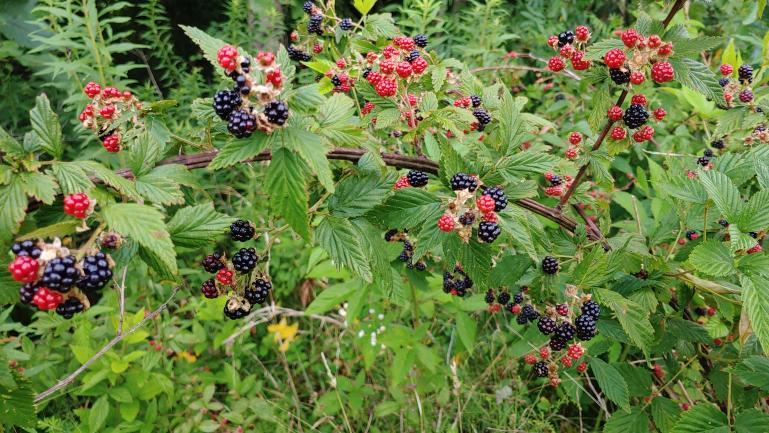Wild Blackberry 7-1-21