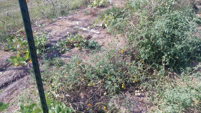 high tensil electric fence line used for trellising tomatos - FAIL