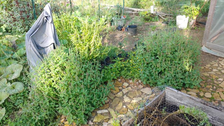 Tulsi, Spilanthes, Birdhouse Gord along greenhouse rock path 9-21-21
